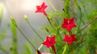 Cardinal Climber Vine 10 Seeds - cross between cypress vine and morning glory